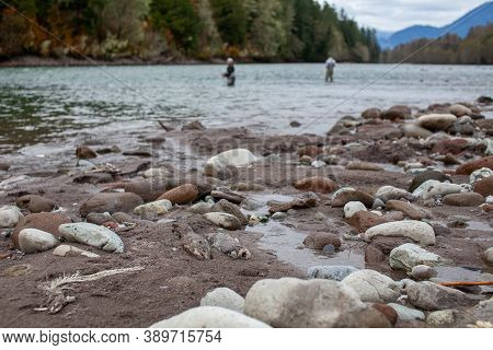 Decomposing Dead Chum Salmon Line The Riverbank In The Fall As They Run Up Stream To Spawn In The Sq