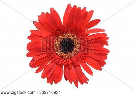 Red Gerbera Isolated On White Background.margherita Barberton.