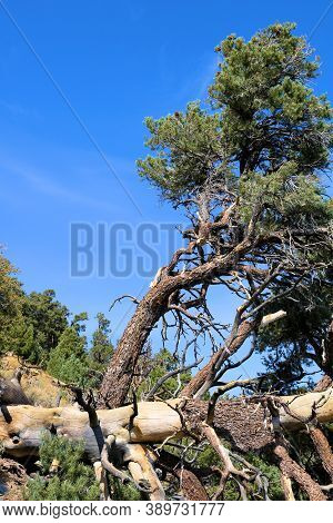 Fallen Down Tree Caused From Lightning On A Mountainous Slope Taken In The Rural Panamint Mountains,