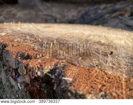 Pine Cutaway. Pine Stump In Resin. Wood Texture, Tree Rings With Tar, Logs, Sawed Wood View From Abo