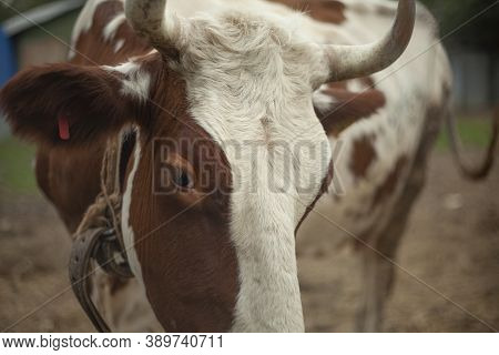 A Cow On A Farm In The Village. A Cloven-hoofed Animal In A Pen For Animals. Horned Beast. Livestock