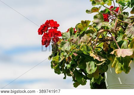 Background Of Red Pelargonium Flowers (commonly Known As Geraniums, Pelargoniums Or Storksbills) And