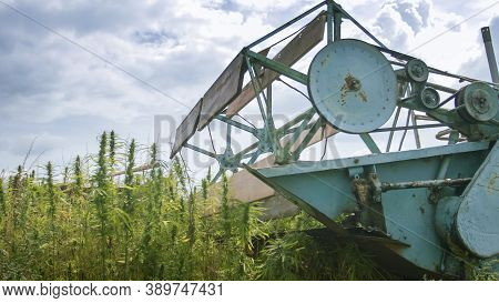 Hemp Combine Harvester Collecting Cannabis For Cbd Cannabidiol Used In Many Health Benefits.