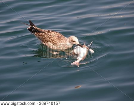A Seagull Eats Dead Fish. Feeding Seagulls In The Sea.