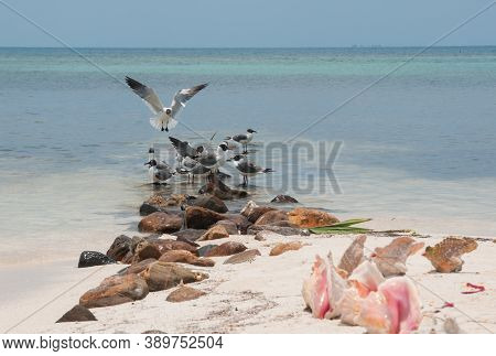 One Seagull With Wings Spanned Landing In A Flock Of Seagulls Standing In Shallow Water.  Belize.