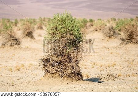 Plants Which Have Collected Sand And Rocks During Sand Storms On Windswept Sand Dunes Taken At The D