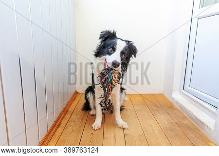 Funny Portrait Of Cute Smiling Puppy Dog Border Collie Holding Colourful Rope Toy In Mouth. New Love