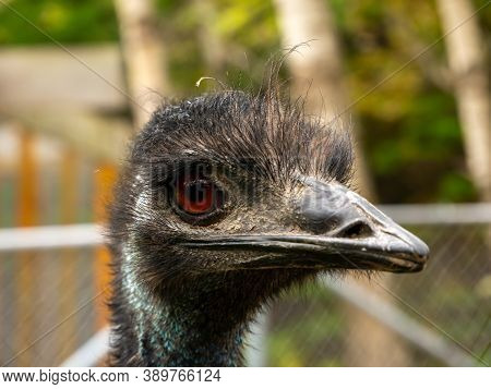 A Brown Emu Staring The Camra Lens.