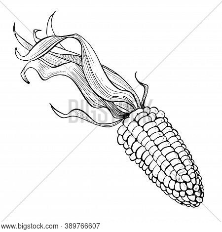 Corn Hand Drawn Vector Illustration Set. Isolated On White Engraved Style Vector. Corn. Detailed Han