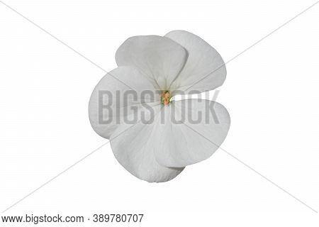 White Flower Of Geranium, (pelargonium) Isolated On White Background. Object With Clipping Path