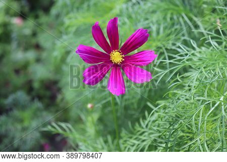 Summer Purple Cosmos Flowers In Latin Cosmos Bipinnatus Commonly Called The Garden Cosmos Or Mexican