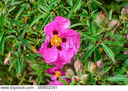 Close Up Of One Delicate Vivid Pink Cistus Flower, Commonly Known As Rockrose, In Full Bloom In A Su