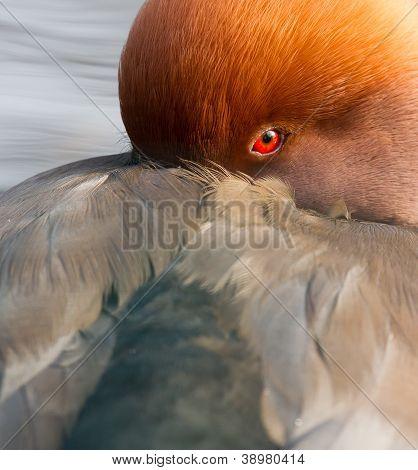 Red Crested Pochard (netta Rufina) Close-up