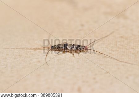 Banded Silverfish (thermobia Domestica) Lateral View, A Common Household Pest.