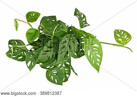 Top View Of Tropical Houseplant With Botanic Name  'monstera Acuminata' Isolated On White Background