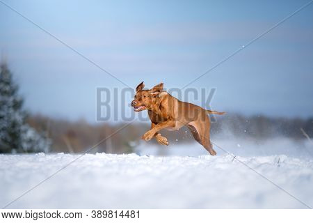 Dog In The Winter In Nature. Active Hungarian Vizsla Running On The Snow