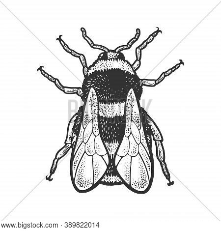 Bumblebee Bee Insect Sketch Engraving Vector Illustration. T-shirt Apparel Print Design. Scratch Boa
