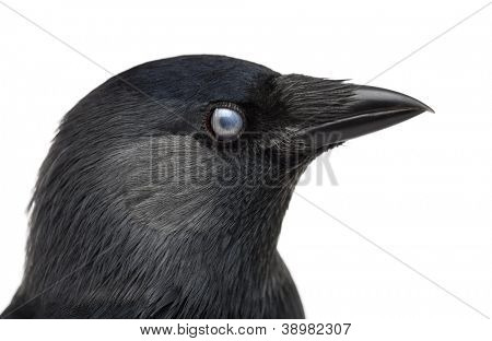 Close-up of a Western Jackdaw with the Nictitating membrane almost closed, Corvus monedula, (or Eurasian Jackdaw, or European Jackdaw or simply Jackdaw) against white background