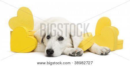 sad Polish Tatra Sheepdog lying between yellow hearts, (also known as Owczarek Tatrzanski, Owczarek Podhalanski or Polski Owczarek) gift, present against white background