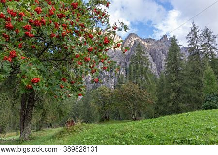 Rowanberry On The Tree. Rowan Tree On The Background Of Mountain Peaks