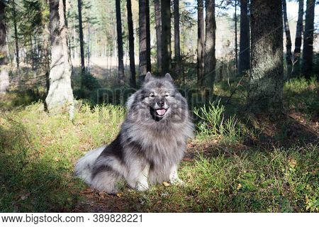 Smiling Keeshond On A Sunny Glade In The Autumn Forest