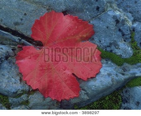 Red Leaf On Granite