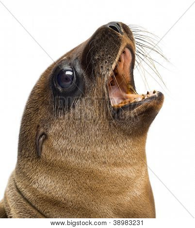 Close-up of a Young California Sea Lion, Zalophus californianus, 3 months old against white background