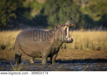 Big And Muddy Adult Hippo Standing In Mud Out Of Water With Its Mouth Open In Early Morning Sunlight