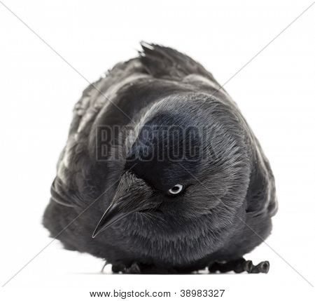 Western Jackdaw lying and looking down, Corvus monedula, (or Eurasian Jackdaw, or European Jackdaw or simply Jackdaw) against white background