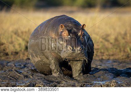 Huge Hippopotamus Sitting In Mud In Chobe River In Botswana