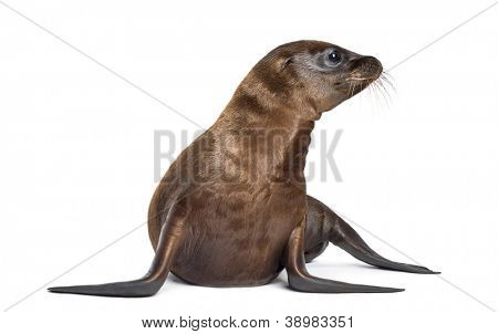 Young California Sea Lion, Zalophus californianus, 3 months old against white background