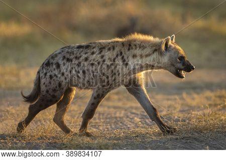 Back Lit Young Hyena Walking In Morning Sunshine In Savuti In Botswana