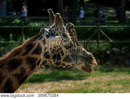 Giraffe Rothschildi At Riga Zoo, Long Neck Variegated Animal Head Portrait Picture