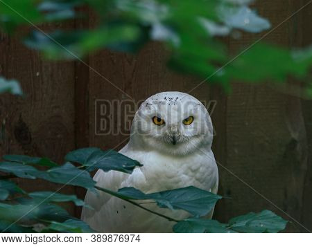 White Owl Fluffy Beautiful Bird Mother With Yellow Eyes Looking On You