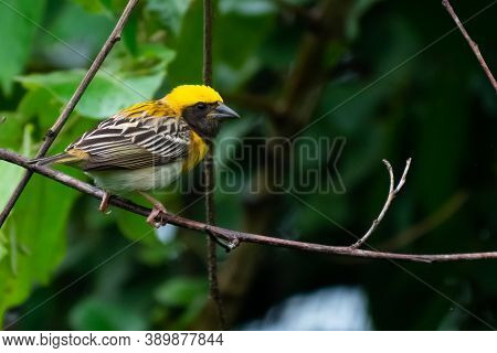 Baya Weaver Female Sitting On A Tree Branch.it Is A Weaverbird Found Across The Indian Subcontinent