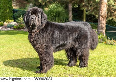 Newfoundland Dog Breed In An Outdoor. Spectacular Newfoundland Dog, Black, Standing In Profile In A