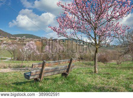 Springtime With Almond Blossom In Palatinate Near Gimmeldingen,rhineland-palatinate,germany