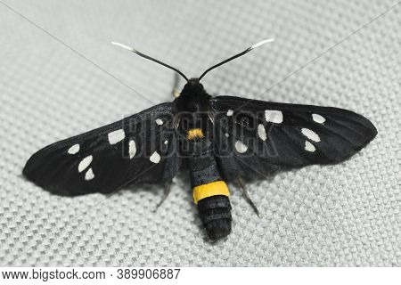 The Spotted Black Butterfly Insect Is On Gray Textile.