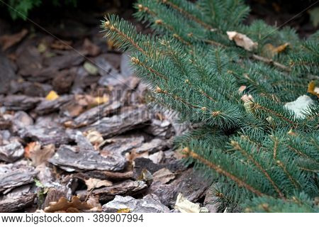 Branches Of A Christmas Tree On A Background Of Pine Bark Mulch. Conifers And Bark Mulcha. Landscapi
