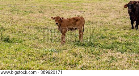 Very Young Calf, With Visible Umbilicus, And Watchful Mother Cow In Pasture. Beef Cattle Livestock.