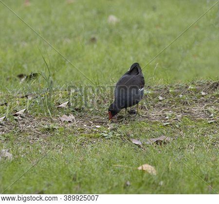 Black Bird With Red Beak Sedentary Moorhen