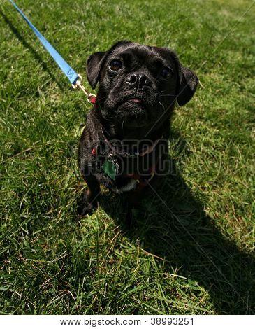 a black pug in green grass