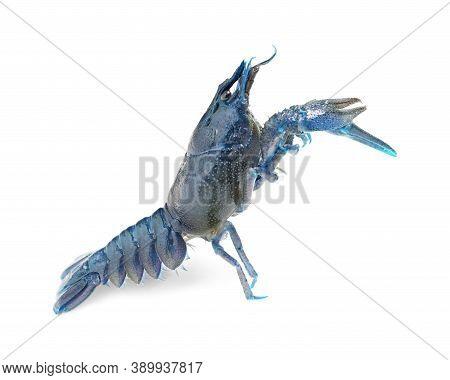 Blue Crayfish Isolated On White. Freshwater Crustacean