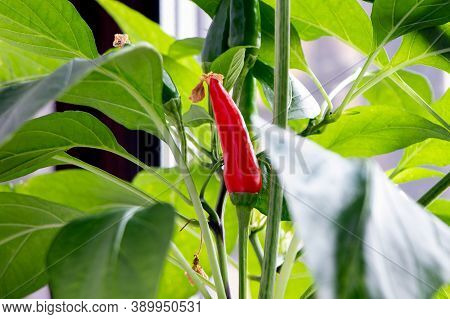 Red And Green Chilies Pepper On A Tree. Clouse Up Of Pepper Tree. Bush Of Chilies Pepper. Growing Re