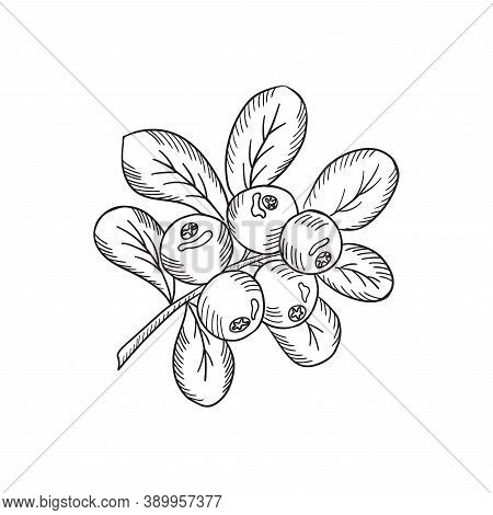Cowberry With Leaves And Branches. Illustration Doodle Sketch Hand-drawn Bunch Of Ripened Lingonberr