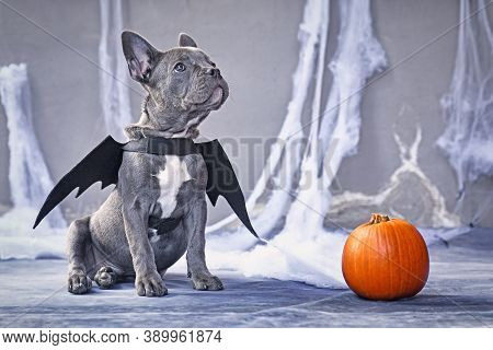 French Bulldog Dog Wearing Halloween Bat Costume Wings Sitting Next To Pumpkin In Front Of Gray Back