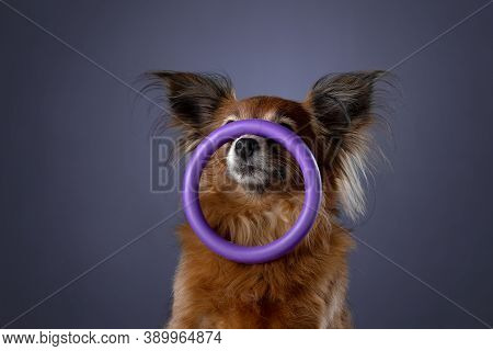 The Dog Is Holding A Toy. Long-haired Russian Toy Terrier On A Purple Background