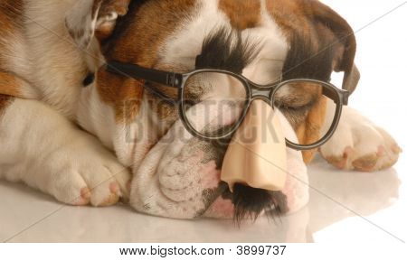 Bulldog With Groucho Marx Glasses