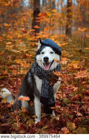 Portrait Of A Dog In Cap And Scarf On Autumn Background. Siberian Husky Black And White Colour Outdo