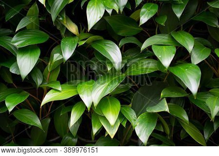 Green Leaf Texture Background. Wallpaper Leaf Surface Natural Green Plants Fresh Wallpaper Concept.
